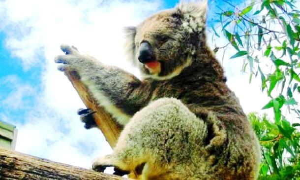 Koalabär-Australien-c-Anja-Knorr