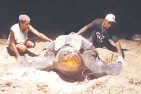 Meeresschildkröte (c) tntdownunder