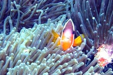 Korallen Anemonenfisch (c) Anja Knorr