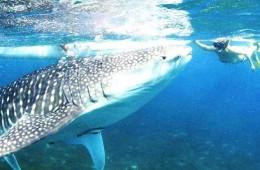 Walhai Australien Ningaloo (c) Anja Knorr