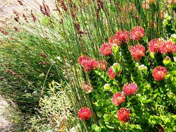 Fynbos Südafrika (c) Anja Knorr