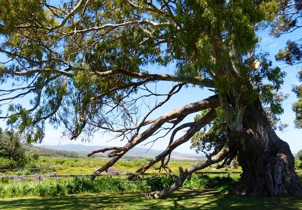 Milkwood Baum Südafrika (c) Anja Knorr