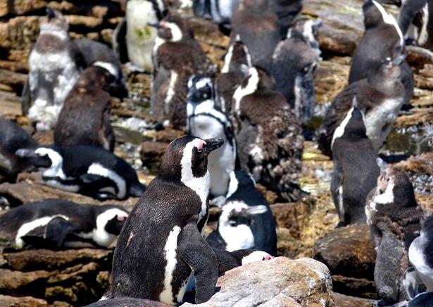 Pinguine Südafrika (c) Anja Knorr