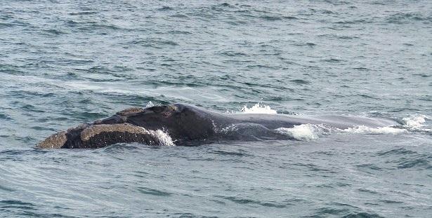 Südlicher Glattwal Südafrika (c) Anja Knorr