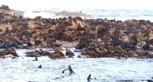 Seelöwen Dyer Island Südafrika (c) Anja Knorr