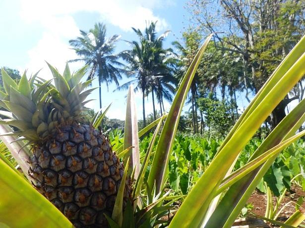 Ananas Cookinseln (c) Anja Knorr
