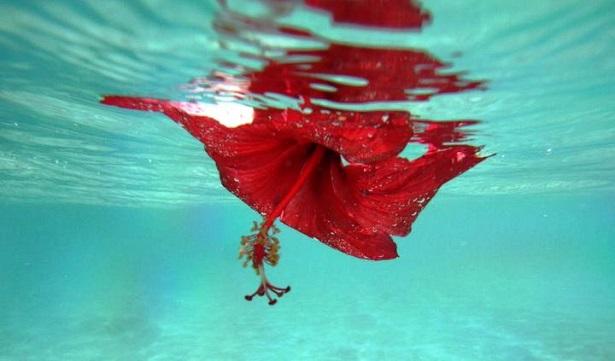 Meer-Hibiskus-Cookinseln-c-Anja-Knorr