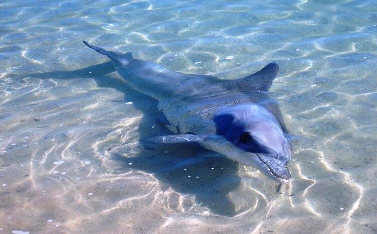 Delfin Monkey Mia Australien