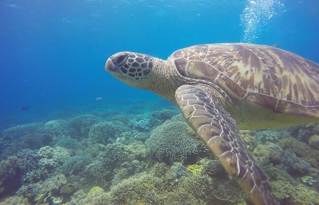 Philippinen Meeresschildkröte