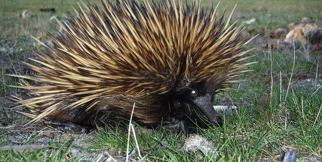 Echidna Australien