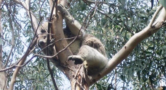 South Australia Koala