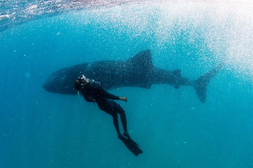 Tofo Tauchen Mosambik Walhai