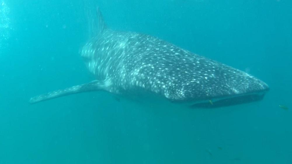 Sansibar Tauchen Walhai
