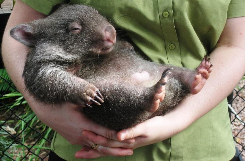Wombat Australien