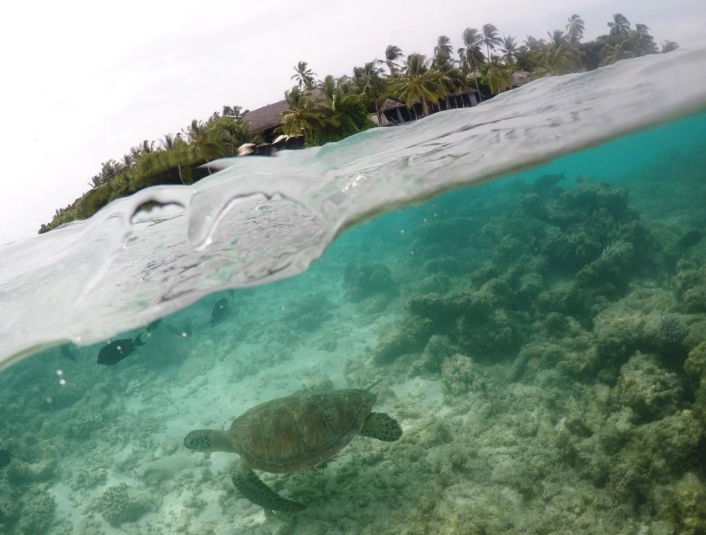 Malediven Meeresschlidkröte