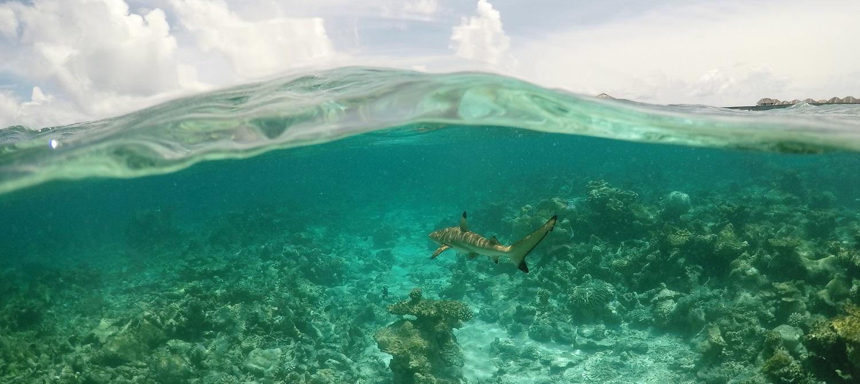 Malediven Riffhai