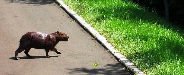 Capybara Brasilien (c) Anja Knorr